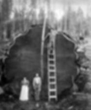 giant sequoia loggers.jpg