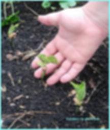 cultivating seedlings.jpg