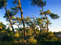 Georgian Bay Evening Pines