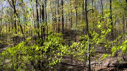 Spring Beech Woods