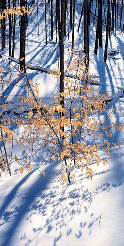 Winter Beech Trees #2