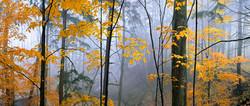 Beech Woods in Dundas Valley