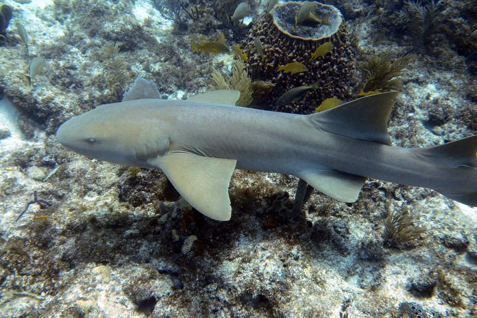 Reef Shark Islamorada