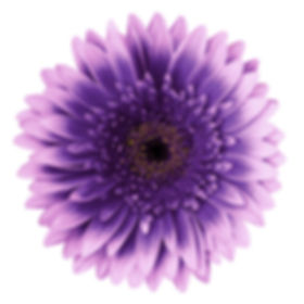 Violet-pink gerbera flower on a white is