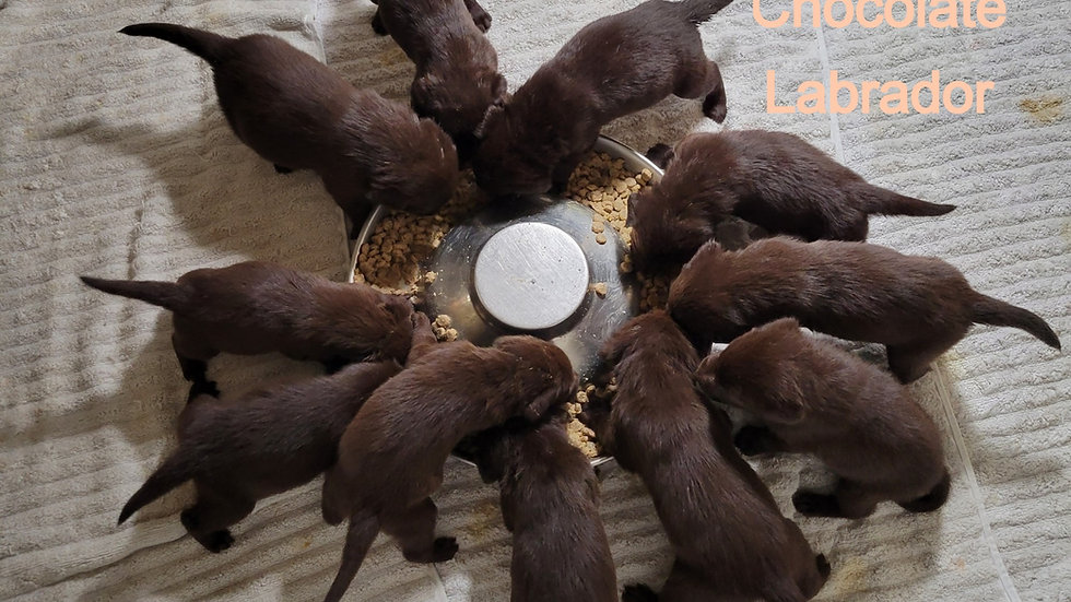 Chocolate AKC Labrador Deposit