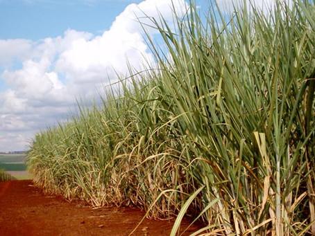 Queda de preços do açúcar no mercado internacional pode fazer com que safra brasileira registre reco