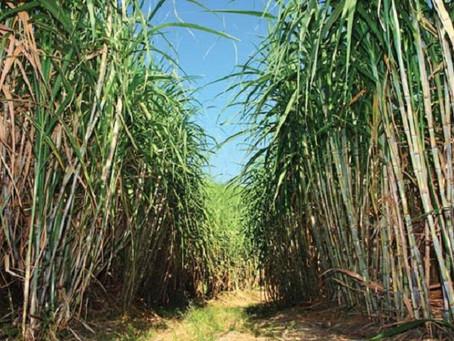 Produção de Cana de Açúcar 2019/20 Terá Acréscimo de 0,3%