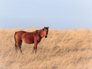 Wild Horses Roam Kansas