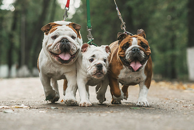 english-bulldogs-and-exercise.jpg