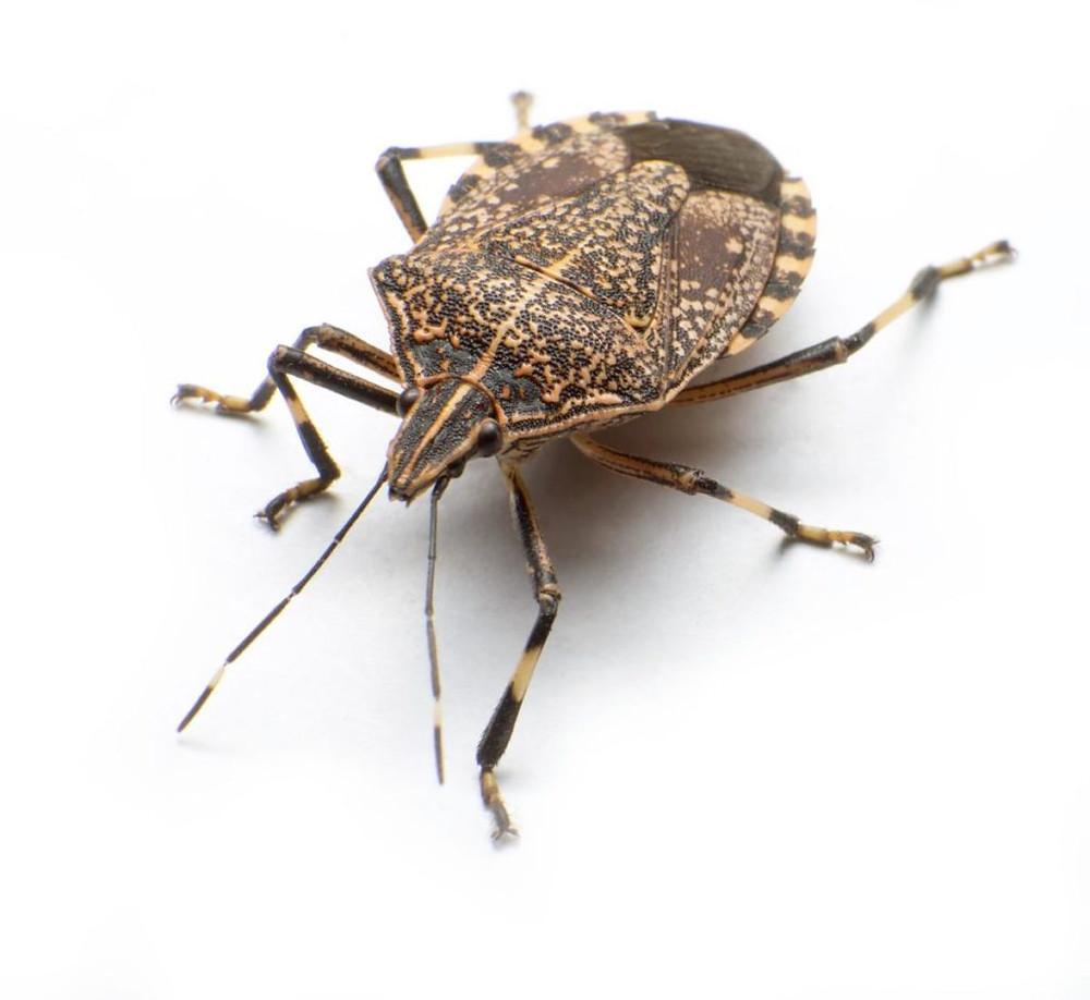 Bruine stink bug BMSB