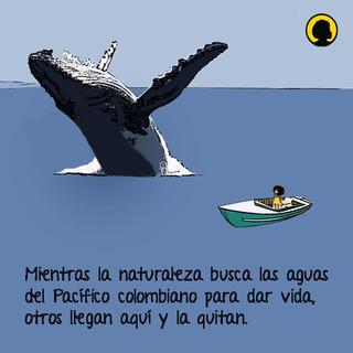 Entre Julio y Noviembre, las ballenas jorobadas escogen las aguas cálidas del Pacífico colombiano para dar a luz. Desde varios lugares cercanos a la costa se pueden avistar a los recién nacidos saltando y jugando en un espectáculo único de la naturaleza.
