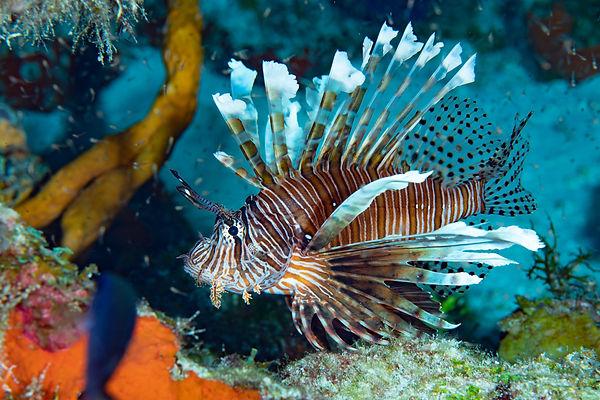 Aldora Divers Lion Fish.jpg