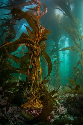 Kelp Dreams