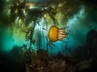 Sea Nettle in Kelp Forest