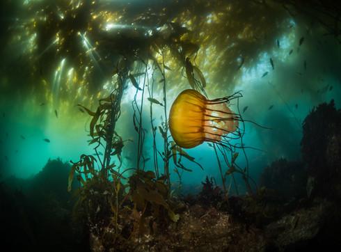 Sea Nettle Monterey