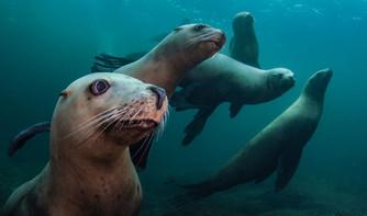 Steller Sea Lions