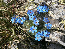 Myosotis nain,Roi des Alpes/Les Grandes Rousses/Oisans/Isère,Savoie-Flore des Alpes
