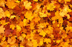 maple-leaves-background (2)