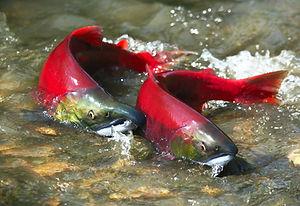 Salmon pair.jpeg