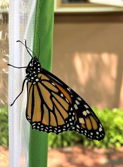 butterfly on net 2