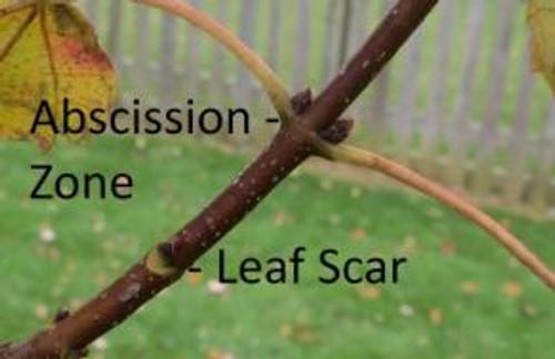 leaf-scar