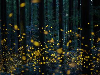 Fireflies Forever