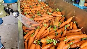 Seed Saving - Carrots