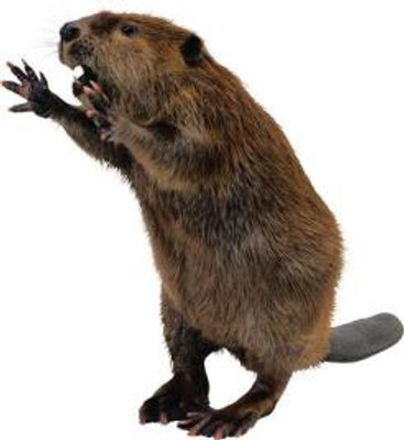 beaver.185180914.jpg