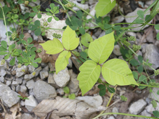 Homemade Poison Ivy Treatments