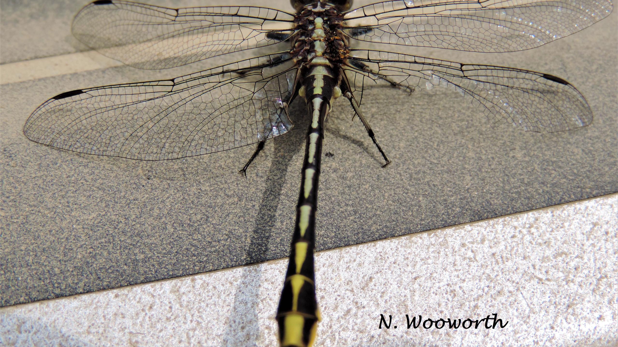 Pronghorn Clubtail