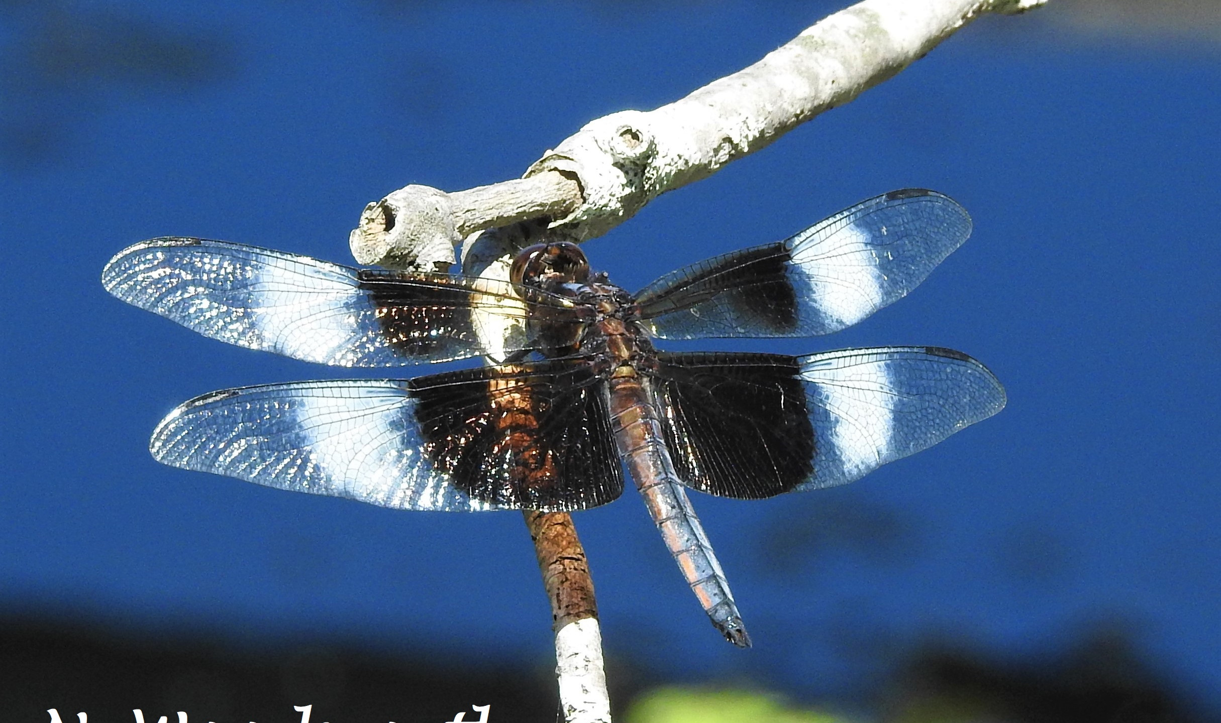 Widow Skimmer (Male, which often have different colors/patterns than females and juveniles!)