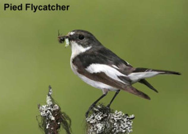 piedflycatcher
