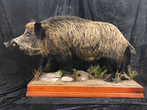Wild Boar Full Mount By Downunder Taxidermy Studio Australia