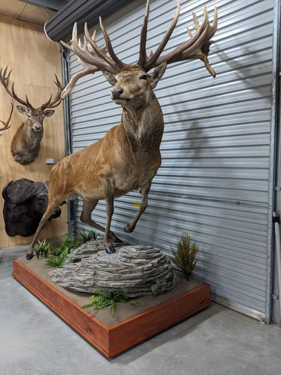 Red Stag Full Body Mount Downunder Taxidermy Studio Australia