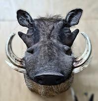 Front On View Warthog Shoulder Mount