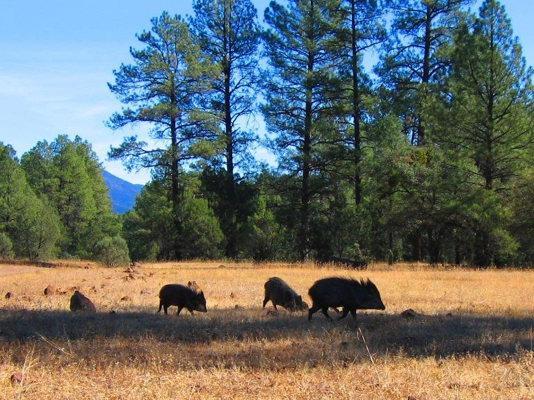 A Drift Or Drove Of Javelina On San Carlos Apache Lands