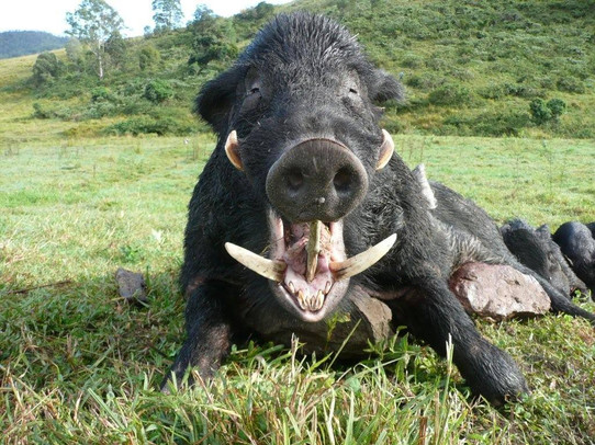 Wild Boar Hunting In Qld