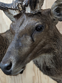 Downunder Taxidermy Studio Queensland Australia