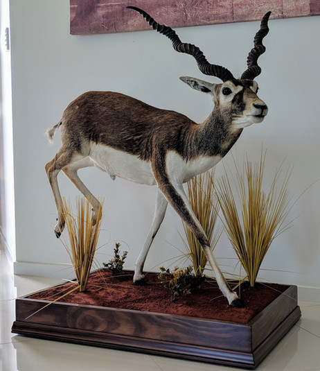 Full Mount Black Buck Taxidermist Markus Michalowitz