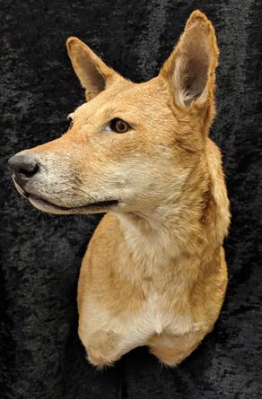 Australian Wild Dingo Taxidermy Mount