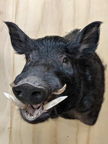 Wild Boar Wall Mount Downunder Taxidermy Studio