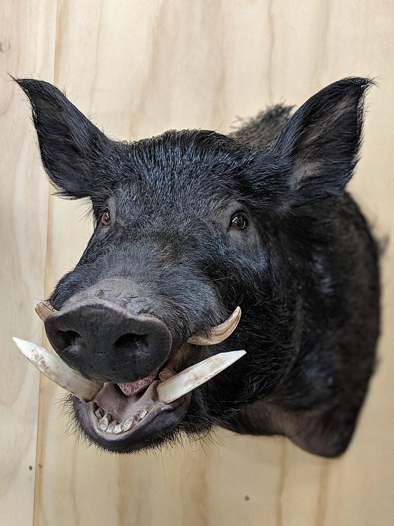 Freeze Dry Boars Head - Downunder Taxide