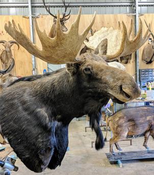 Moose Mount By Taxidermist Markus Michalowitz