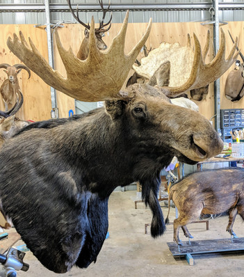 Moose Mount By Taxidermist Markus Michalowitz