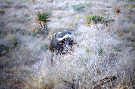 Eastern Cape Big Game Hunting Buffalo