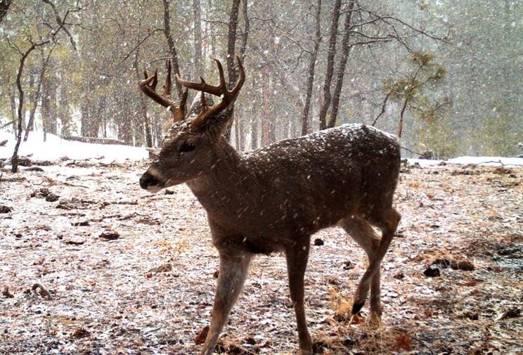 San Carlos Coues Deer Hunting Draw