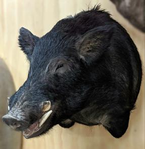 Wild Boar Freeze Dry Taxidermy By Downunder Taxidermy Studio Australia