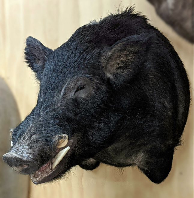 Wild Boar Freeze Dry Taxidermy By Downunder Taxidermy Studio Australia