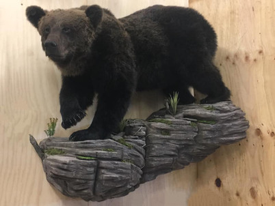 Life Size Bear Mount By Downunder Taxidermy Studio Australia