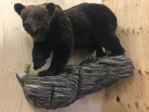 Life Size Bear Mount By Downunder Taxidermy Studio Australia